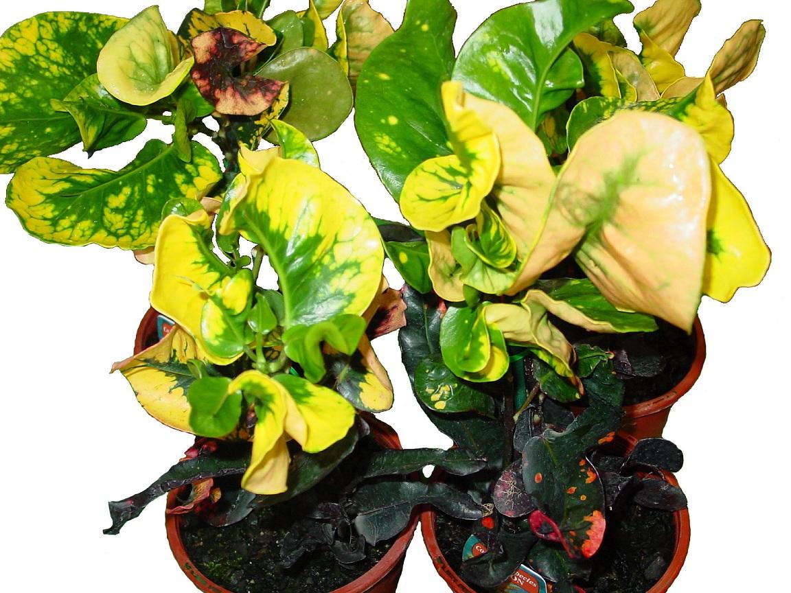 Croton At Harts Nursery