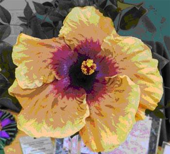 Hibiscus At Harts Nursery
